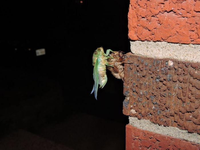 Cicada molting on wall at night