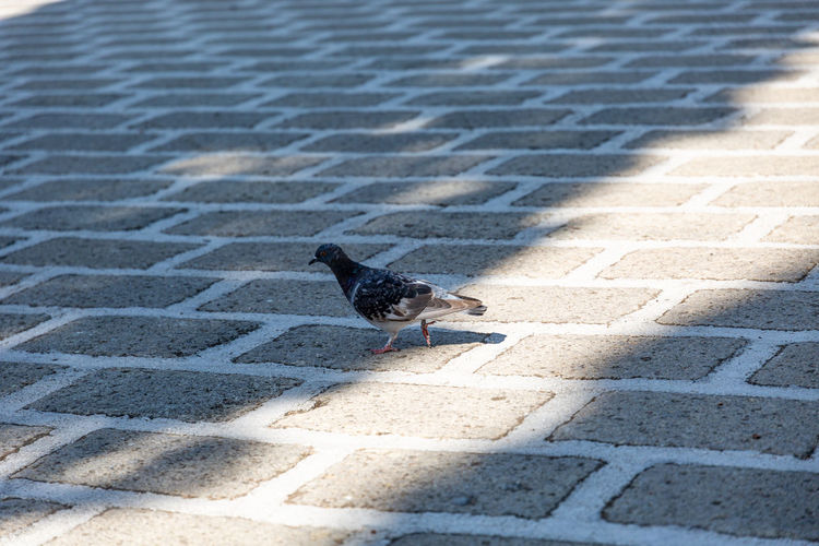 Pigeon on the