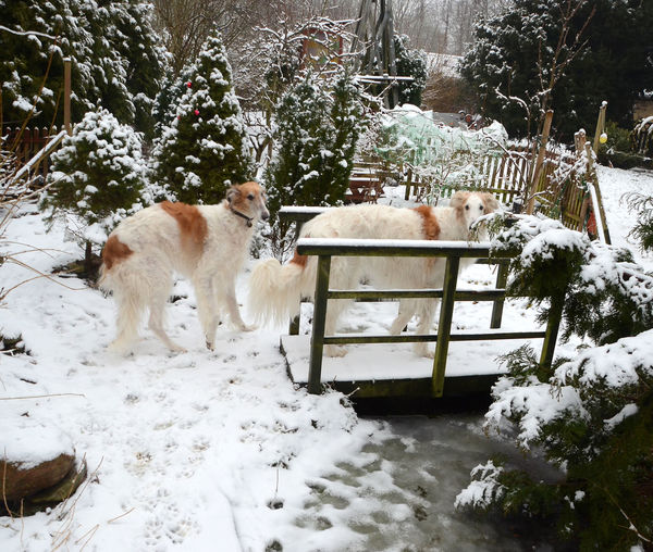 Two borzoi dogs standing in a snow covered park with a bridge. Animal Themes Beauty In Nature Borzoi Bridge Bridge Borzoi Cold Temperature Day Dog Domestic Animals Mammal Nature No People One Animal Outdoors Park Pets Russian Woldhound Snow Tree Two People Weather White Color Winter