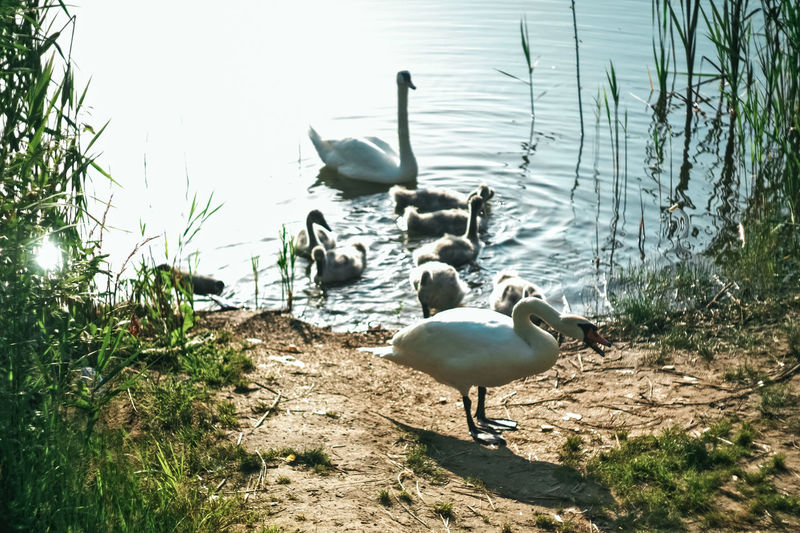 Aggressive Swan Check This Out Streetphotography Eos1100D Eye4photography  Canonphotography Original Photography Outdoor Personal Canon Helios 44-2 58mm F2 Nature Swans Colors Animals Forsale Perfect Forsalenow