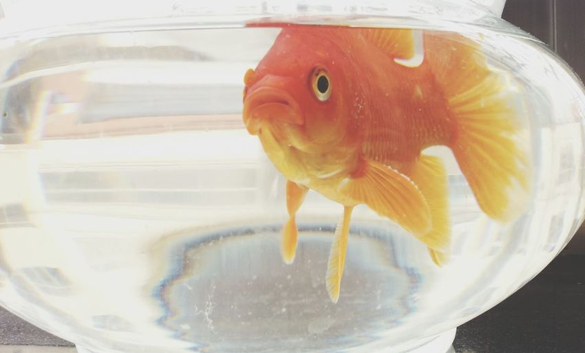 Goldfish Animal Love 重生