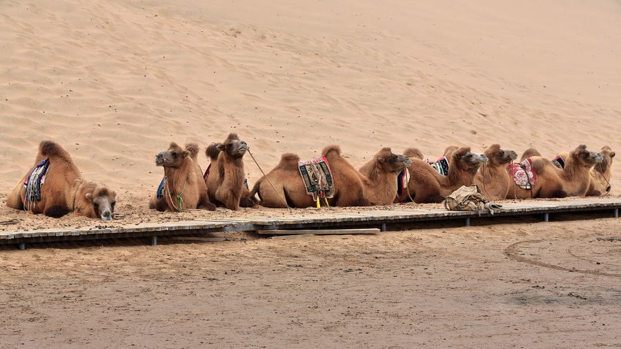 View of camels in desert
