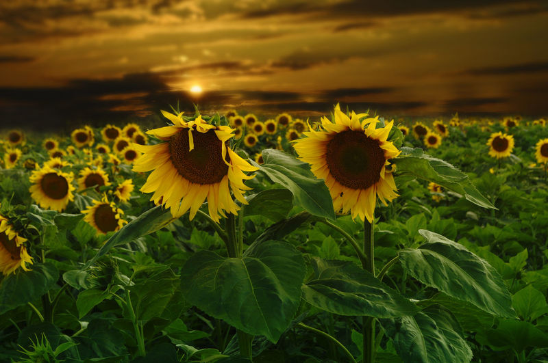 Sunflowers Blooming Against Sky During Sunset