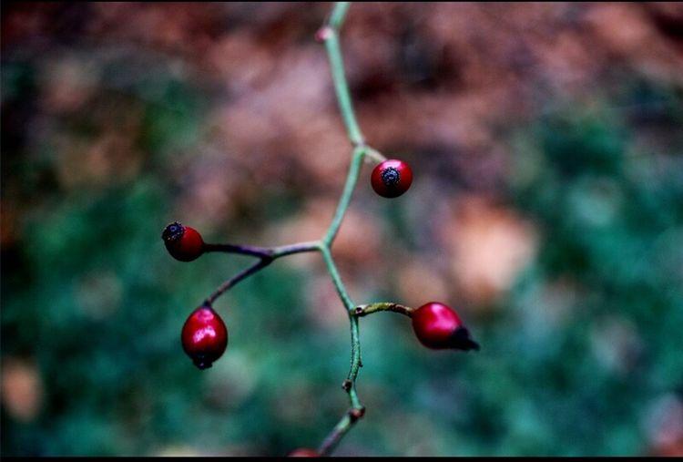 Red Berries.... Canon T3i 24mm f2.8 pancake lens. Amateurlife Enjoying Life Loveistheanswer Marjorie♥