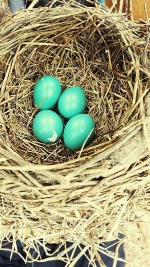 The Great Outdoors With Adobe Indiana Birds Bird Photography Robin Eggs Bird Nests Birds🐦⛅ Birds_collection Bird Watching Nests Country Living Birds Of EyeEm  Birds Eye View