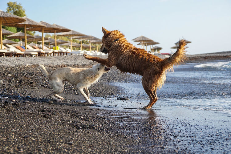 Dogs playing at beach against sky