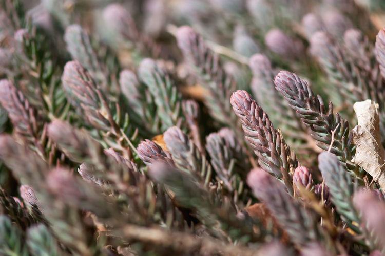 Purple succulents grow in late winter.
