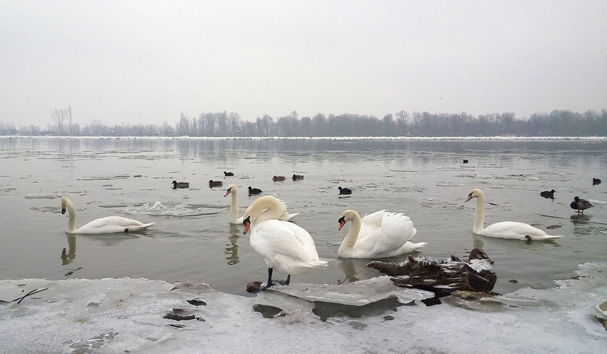 Swans and ducks on frozen, icy Danube riverbank in Belgrade, Serbia. Winter on the river. Beak Birds Of EyeEm  Cold Weather Danube EyeEmNewHere Morning Swans ❤ Swiming Winter River Beauty In Nature Birds Cracked Ice Ducks Ducks In Water Feather  Freeze Lake Nature Outdoors River Snow Swan Swans On The Lake Water Wildlife