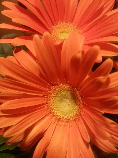 Flower Beauty In Nature Fragility Nature Freshness Backgrounds Flower Head Orange Color No People Plant Gerbera Daisy Soft Focus Growth EyeEmNewHere Orange Colour Garden Flowers Balkone