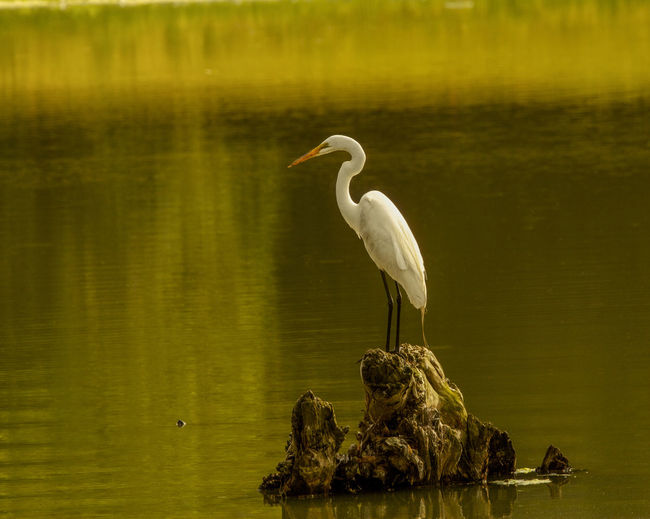 Animal Themes Animal Wildlife Animals In The Wild Bird Day Egret Egret On Stump Great Egret Nature No People One Animal Outdoors Water