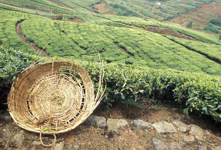 High angle view of wicker basket on tea farm