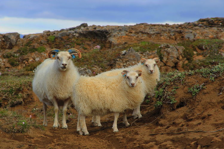 Family Iceland Iceland Memories Animal Themes Day Domestic Animals Iceland Trip Iceland_collection Livestock Looking At Camera Mammal Mountain Nature No People Outdoors Portrait Sheep Sky Togetherness Young Animal