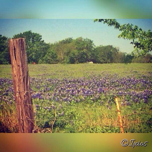 Bluebonnets On It Ixios  Flowers Rural Scenes Bluebonnet