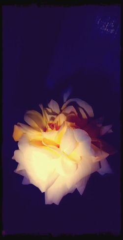 Midnight In The Garden Of Good And Evil Creme Caramel Rose🌹 Spring Has Arrived delicately beautiful under the veil of night ~