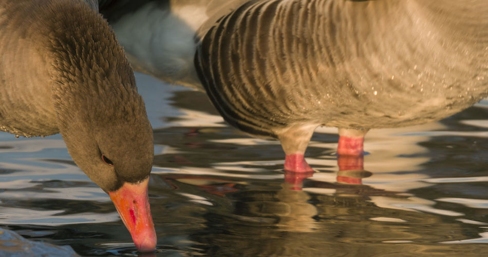 Close-up of duck drinking water