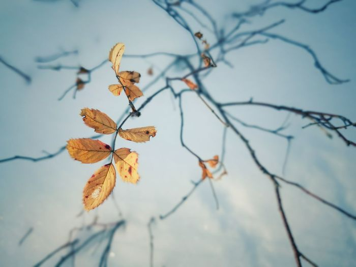 Close-up of dried leaves on branch against sky