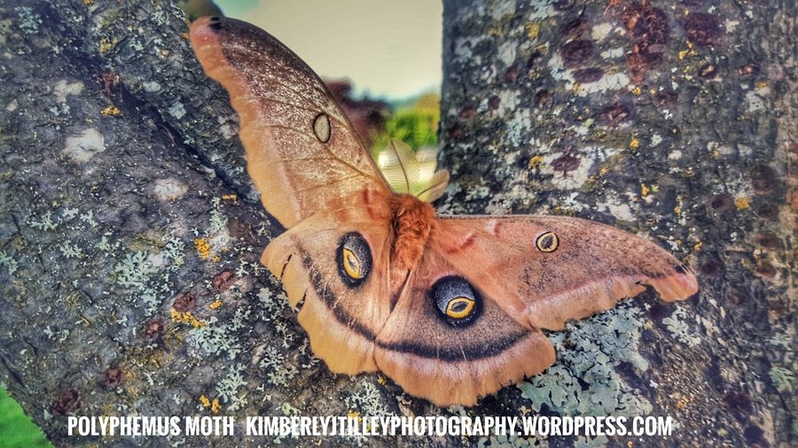 Found this beautiful Polyphemus Moth on my morning walk. KimberlyJTilley Nature Close-up Wildlife