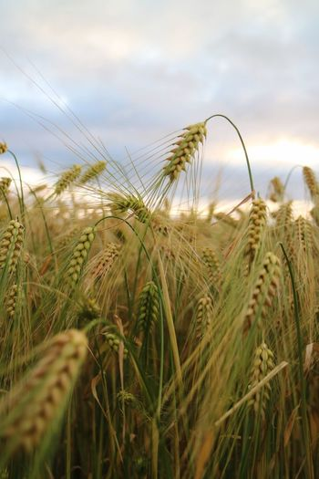 Plant Growth Sky Crop  Cereal Plant Agriculture Field Nature Beauty In Nature Cloud - Sky Landscape Rural Scene Land No People Tranquility Day Wheat Farm Close-up Scenics - Nature
