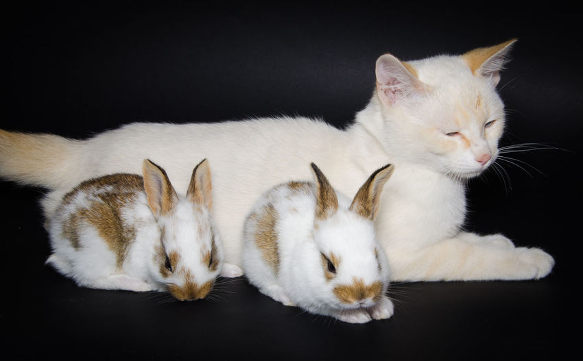 Studio portrait of white kitten with little rabbits Black Background Isolated Rabbits Animal Animal Family Animal Themes Bunny  Cat Domestic Domestic Animals Domestic Cat Feline Funny Anımals Group Of Animals Indoors  Mammal Pets Puppies Puppy Studio Portrait Studio Shot Togetherness Two Animals Whisker Young Animal