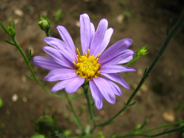 Aster Aster Albanicus Asteraceae Beauty In Nature Close-up Compositae Endemic Species Flower Flower Head Fragility Nature Outdoors Petal Plant Purple