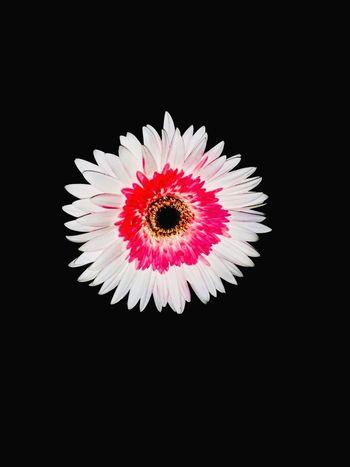 Çiçekler Güzeldir 🎈🎈🎀💕 Studio Shot Black Background Petal Flower Freshness Flowering Plant Fragility Beauty In Nature Nature Flower Head