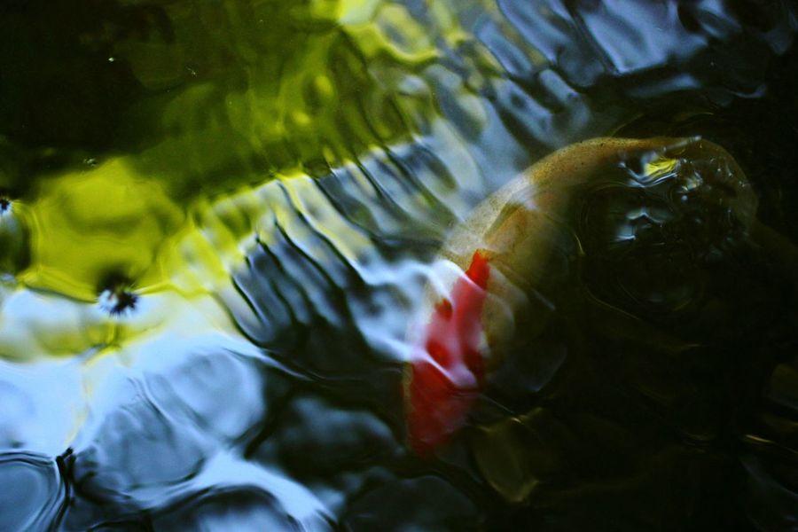 Underwater Koi Fish Carpe Koi Fish Water Reflections Colors