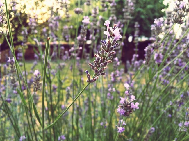 Lavenderflower Flower Freshness Beauty In Nature Plant Nature Close-up Purple Lavender In Bloom Fragility Growth