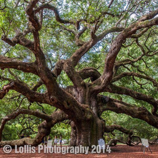 Angel Oak tree in Charleston South Carolina 1500 years old James Island