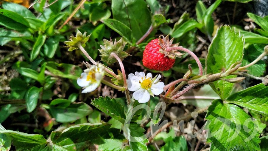 Nature Growth Green Color Day Beauty In Nature Plant No People Outdoors Freshness Flower Close-up Fragility Tree Flower Head Wild Strawberries Wild Strawberry Mountain View Harghita Romania Rural Scene Mountain Landscape Freshness Eating Healthy