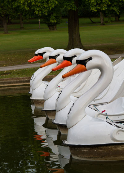 Peddle Swans on the Lake Animal Themes Animals In The Wild Beauty In Nature Bird Day Flamingo Nature No People Outdoors Park Peddle Power Reflection Swan Tree Water
