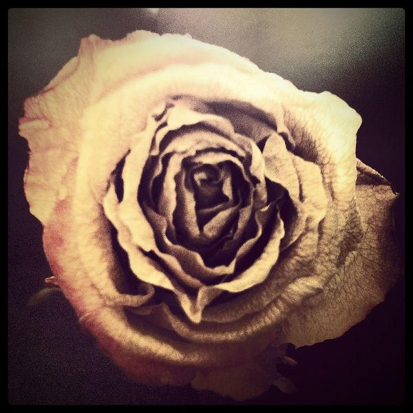 Darkness Darkart Dried Flowers Dried Rose Roses Beauty In Death Aged
