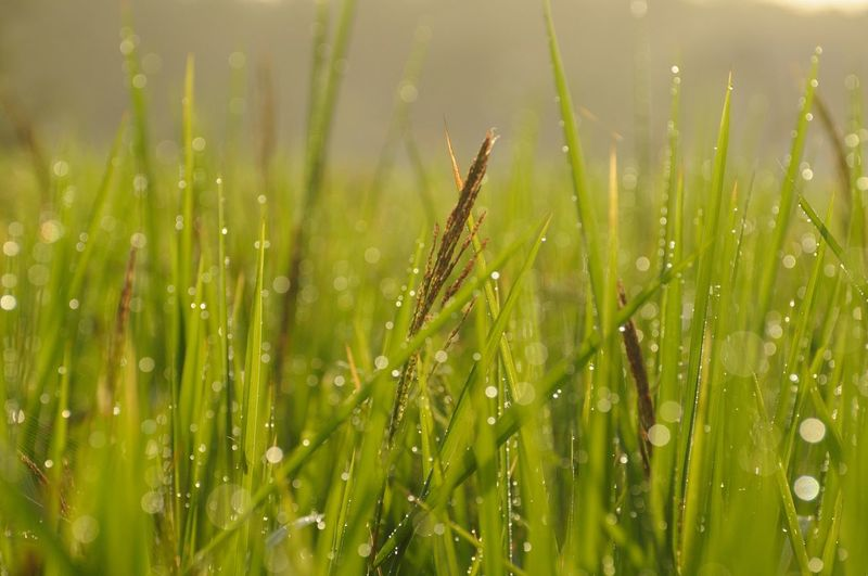 nature Water Cereal Plant Backgrounds Springtime Agriculture Wet Rural Scene Close-up Grass Green Color