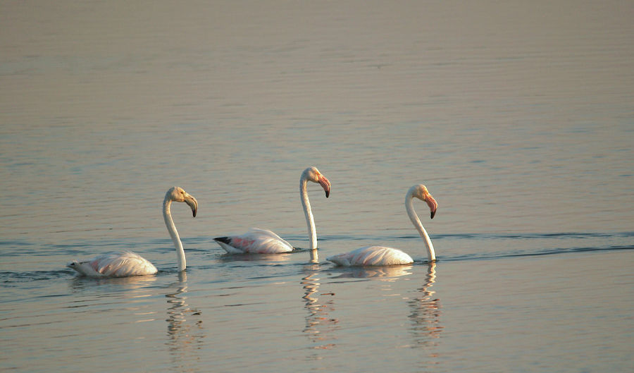 three flamingos are swiming in shallow lake water in winter morning Beauty In Nature Birds India Nature India Migratory Birds Nature Wildlife Wild India Asian  Wildlife & Nature Animals In The Wild Animals Winter Birds Birds Of India Birds In The Wild Group Of Birds Flamingo Water Lake Water Three Birds Morning Light Flamingos In Water Winter Yellow Color White Birds