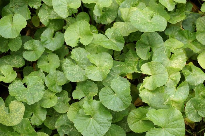 Asiatic Pennywort Herb Backgrounds Centella Asiatica Close-up Day Directly Above Foliage Food Food And Drink Freshness Full Frame Gotu Kola Green Color Growth Healthy Eating Leaf Leaves Nature No People Outdoors Plant Vegetable