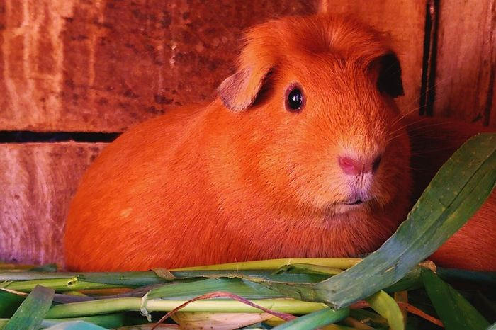 So this is Roberto 🐹 one of the Guinea Pigs I rise while I'm home at the Sacred Valley - Peru.🌄 He's really red yall. Btw guinea pigs are consider a traditional food here. 🐹🐹 Hanging Out Hi! Enjoying Life Vallesagradodelosincas Picoftheday EyeEm Nature Lover PhonePhotography Check This Out On The Way Food♡ Pets Today ♥ Cusco, Peru Sacred Valley Eyem Best Shots Nature_collection Showcase July Eyem Gallery Home Is Where The Art Is The EyeEm Collection Inca Colour Of Life