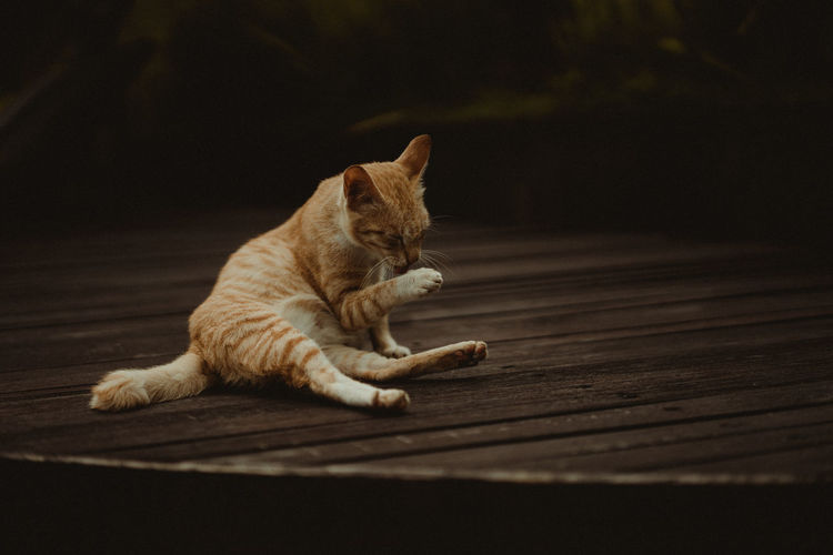 Mammal Animal Themes One Animal Animal Cat Pets Domestic Feline Domestic Animals Domestic Cat Vertebrate No People Relaxation Resting Flooring Indoors  Lying Down Wood Wood - Material Full Length Whisker Ginger Cat