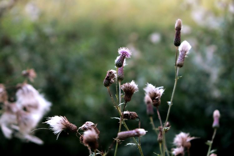 EyeEm Selects Flower Nature Day Plant No People Thistle Outdoors Close-up Fragility Flower Head Portrait Looking At Camera Happiness Camera Photographer Photooftheday Beauty Silhouette Photography Sky Tree Area Tree Landscape Love