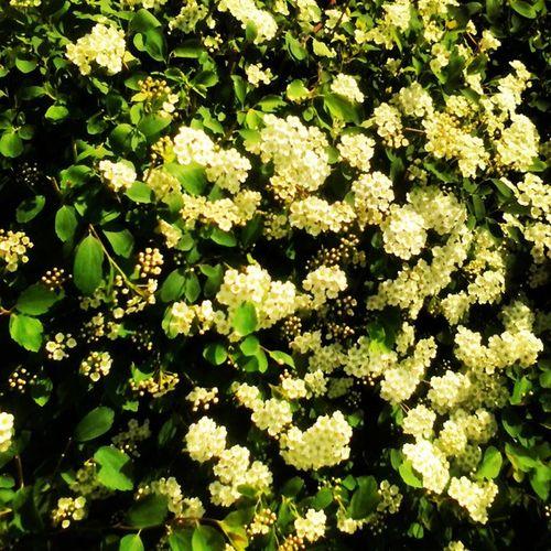 куст цветы зелень  Flowers белые_цветочки )