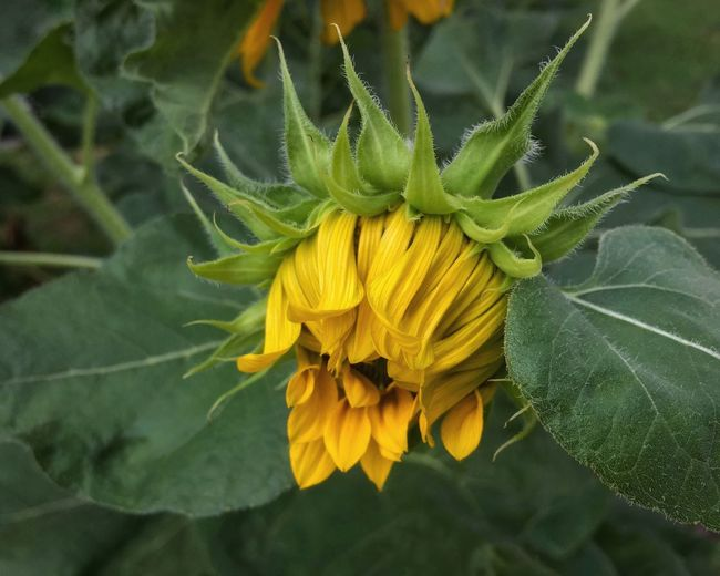 Flower head of a sunflower with developing yellow ray florets. Yellow Flower Ray Flower Ray Florets Yellow Petal Sunflower Helianthus Green Color Leaf Hairy Leaves Day November 2017 Flower Fragility Growth Petal Freshness Plant Nature Beauty In Nature Blooming Flower Head Close-up Outdoors No People