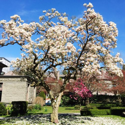 Spring- A few weeks ago Spring came unusually earlier than expected. The Cherry Blossoms were in bloom and decked the city streets pretty in pink. Cherry Blossoms Tree Pinkflowers Spring Seasons Magicofnature Naturelovers Inspirational Lovemycity Vancouver Davie Street