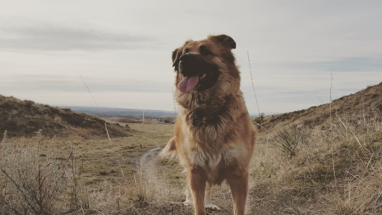 EyeEm Selects Dog Pets One Animal Domestic Animals Day Outdoors Mammal Nature Sky No People Animal Themes Portrait Optoutside Artofvisuals Dogs Dogs Of EyeEm Furbaby Golden Retriever German Shepherd Puppy Tongue Out Hike Hiking Greettheoutdoors Pet Portraits