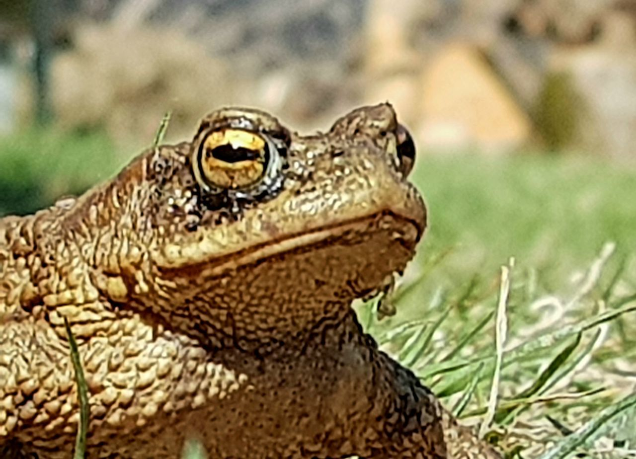CLOSE-UP OF A REPTILE ON GRASS