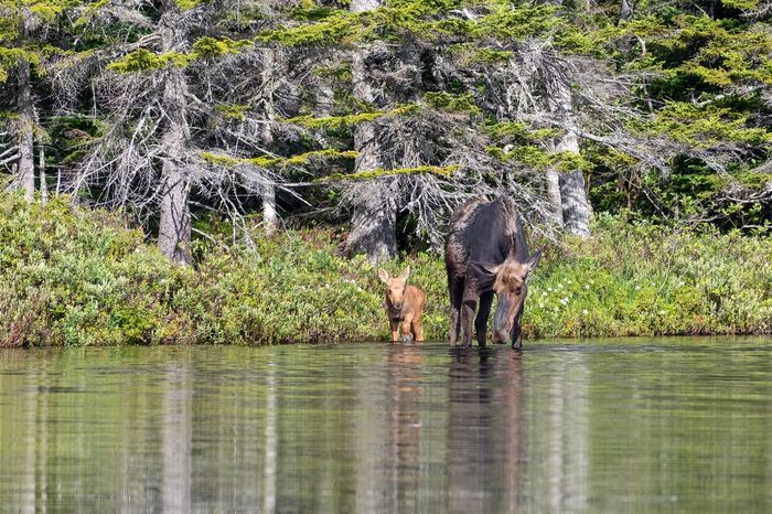 Momma moose and her baby Wildlife Pond Maine Baxter State Park No People Beauty In Nature Moose Calf Baby Moose Moose