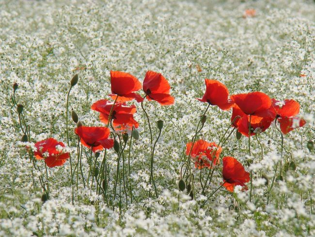 poppies with mosses (양귀비와 안개꽃) May Moss Baby's Breath Red White Popy Flower Poppy Flower Head Snow Winter Cold Temperature Red Close-up Plant