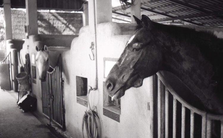 Ilfordpan100 Film Photography Film EyeEm Selects Domestic Domestic Animals Mammal Pets Animal Animal Themes Horse Indoors  Animal Head  Stable