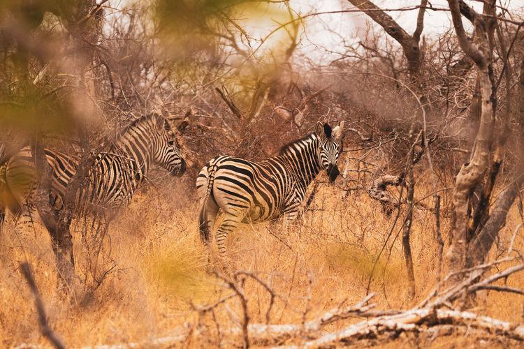 View of zebras in a field