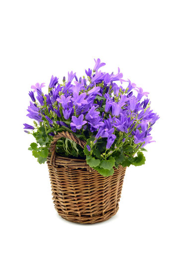Close-up of purple flowers in basket