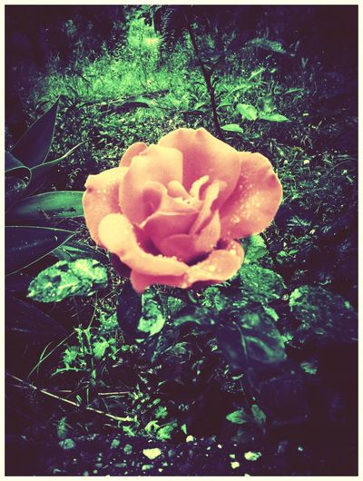 EyeEm Nature Lover Nature_collection Walking Around Rose♥