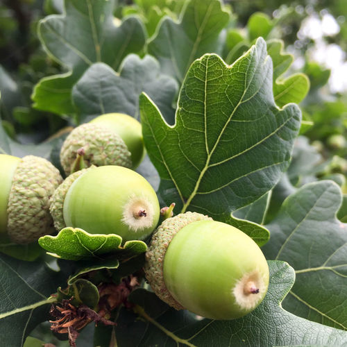 Acorns on oak tree Acorns Forest Nature Photo Nature Photography Oak Leaves Oak Tree Oak Trees Wood