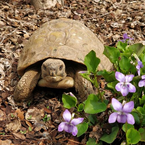 Spring is here, time to get out of hibernation! Spring No People Tartaruga Violet Daylight Flower Tortoise Close-up Blooming Turtle